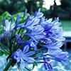 Agapanthus by the Pond