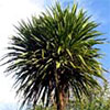 Cabbage Tree (Cordyline)