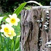 Tree Stump and Daffodils
