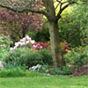 Maple and Rhododendron Garden