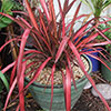 Red Phormium in Green Pot