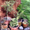 Bargain Shrubs in Pots