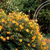 Yellow Hypericum Flowers