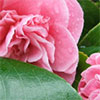 First Camellia to Flower