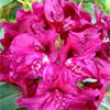 Favourite Rhododendron Colours