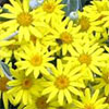Yellow Flowering Senecio