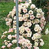 Orchard Roses - Early Days