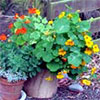 Nasturtiums in a Pot