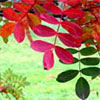Sorbus Leaves and Berries