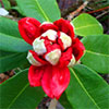 New red rhododendrons are flowering...
