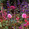 Perennials and Roses Garden