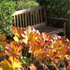 Garden Bench by the Darmera