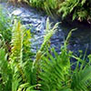 Water Garden Ferns