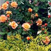 Westerland Fragrant Rose