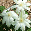 White Large-Flowered Clematis